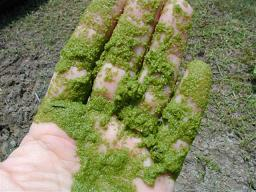 Riasy (Algae)